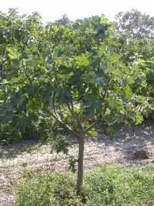 Ficus_carica_caprifiguier_male