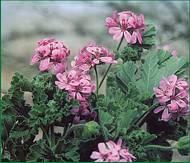 geranium-odorant-3