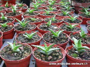 aloes_1